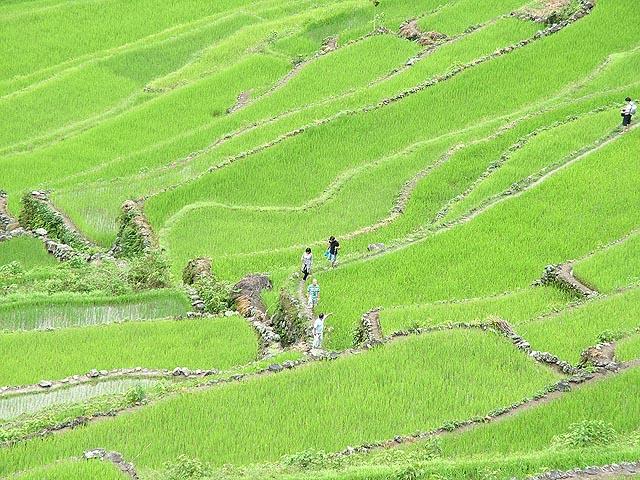 Jázmin rizs lépcsős művelés