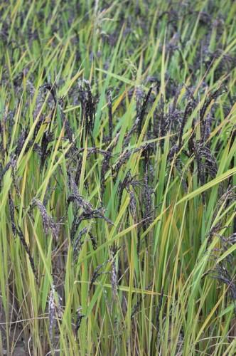 Jázmin rizsföld (1)