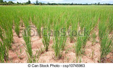 Jázmin rizs (2)